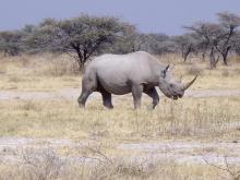 Black rhino - Etosha
