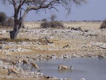 Springbok at waterhole in Etosha